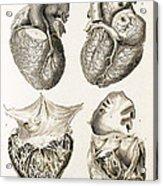 Heart, Anatomical Illustration, 1814 Acrylic Print