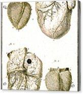 Heart And Muscle Fibers, 18th Century Acrylic Print