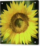 Heart Of Gold Sunflower Acrylic Print