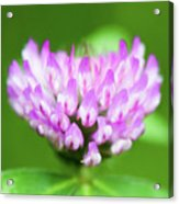 Heart Shaped Clover Acrylic Print