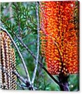 Heath Banksia From Fairfax Walk Acrylic Print
