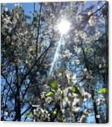 Heaven Sent Spring 2018 Acrylic Print