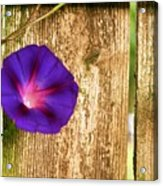 Heaven With Morning Glory Acrylic Print