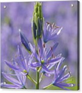 Heavenly Blue Camassia Acrylic Print