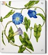 Heavenly Blue Morning Glory Acrylic Print