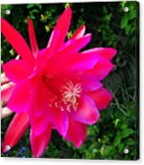 Heavenly Epiphyllum Orchid Cactus Acrylic Print