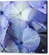 Heavenly Hydrangeas Acrylic Print