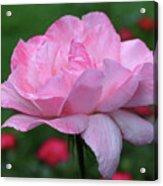 Heavenly Pink Rose Acrylic Print