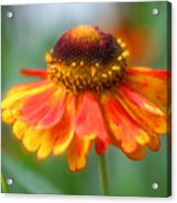 Heavenly Zinnia Acrylic Print
