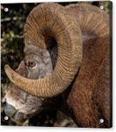 Heavy Horns Acrylic Print