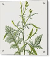 Hedge Mustard Acrylic Print
