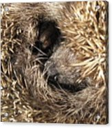 Hedgehog Curled Up Acrylic Print