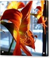 Heirloom Amaryllis  Acrylic Print