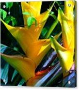 Heliconia Caribea Gold Acrylic Print