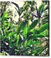 Heliconia Cluster Acrylic Print