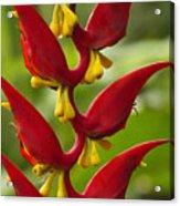 Heliconia Dielsiana Acrylic Print