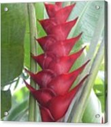 Heliconia Hot Flash Acrylic Print