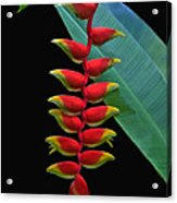 Heliconia Acrylic Print by Larry Linton