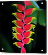 Heliconia Lobster Claw Acrylic Print