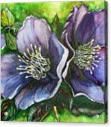 Helleborous Blue Lady Acrylic Print
