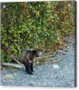 Hello Bear Acrylic Print