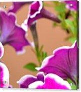 Hello Petunia Acrylic Print