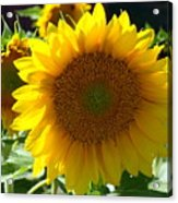 Hello Sunflower Acrylic Print