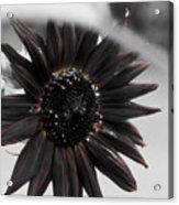 Hells Sunflower Acrylic Print