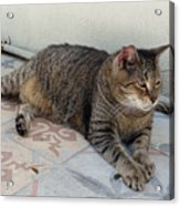 Hemingway Polydactyl Cat Acrylic Print