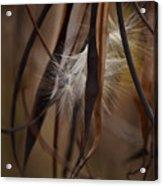 Hemp Dogbane Seeds Acrylic Print