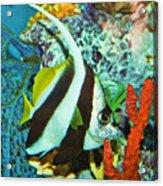 Heniochus Butterfly Acrylic Print