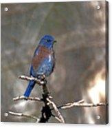 Henrys Western Bluebird Acrylic Print