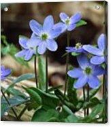 Hepatica Blue Acrylic Print by Lori Frisch