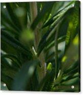 Herb #5 Acrylic Print