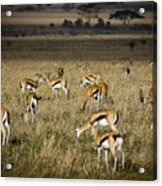 Herd Of Antelope Acrylic Print by Darcy Michaelchuk