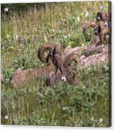 Herd Of Bighorn Sheep Acrylic Print