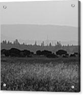 Herd Of Bison Grazing Panorama Bw Acrylic Print