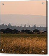 Herd Of Bison Grazing Panorama Acrylic Print