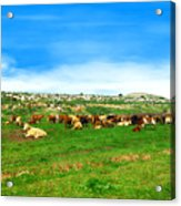 Herd Of Cows Under A Blue Sky In Green Hills Acrylic Print