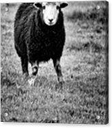 Herdwick Sheep Acrylic Print