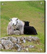Herdwick Sheep On A Hillside In Cumbria Acrylic Print