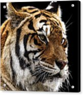 Here Kitty... Acrylic Print