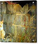 Here Kitty Kitty Kitty Acrylic Print