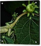 Here Lizard Lizard Acrylic Print