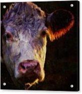 Hereford Cow Acrylic Print