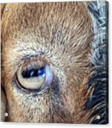Here's Looking At You Kid - The Truth About Goats' Eyes Acrylic Print