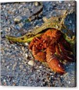 Hermit Crab- Florida Acrylic Print