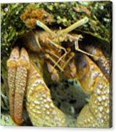 Hermit Crab Acrylic Print
