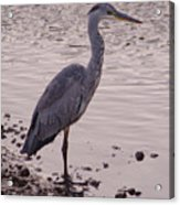 Heron And Grey Water Acrylic Print