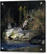 Heron By A Stream Acrylic Print